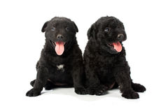 Puli Dog Royalty Free Stock Photography