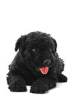Puli Dog Royalty Free Stock Image