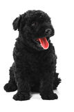 Puli Dog Stock Photography