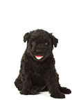 Puli Dog Stock Photos