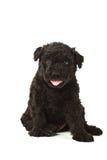 Puli Dog Stock Photos