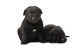 Puli Dog Royalty Free Stock Photos