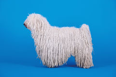 Puli dog. A puli dog in front of blue background Royalty Free Stock Photo