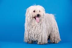 Puli dog. A puli dog in front of blue background Stock Photos
