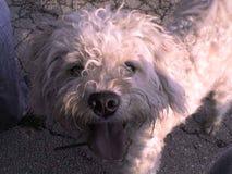 Puli dog Royalty Free Stock Photo