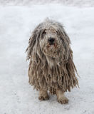 Puli dog with rasta Stock Photo