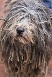 Puli with hairy dreadlocks covering its eyes. Closeup of gray and cream puli with hairy dreadlocks covering its eyes looking up Stock Images