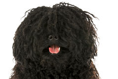 Puli head portrait Stock Image