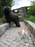 Puli and kitten. A puli dog and a small kitten Stock Photography