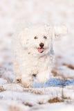 Puli in Sneeuw stock afbeelding