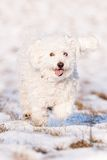 Puli in Snow Stock Image
