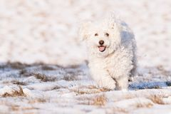 Puli in Snow Royalty Free Stock Photography