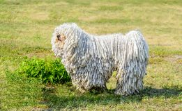 Puli in profile. Stock Photography