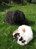 Puli und Katzen Lizenzfreies Stockfoto