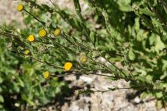 Pulicaria odora, Mediterranean Fleabane Royalty Free Stock Photos