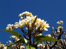 Pulisca il fiore Fotografia Stock Libera da Diritti