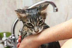 Pulisca il gattino bagnato del procione lavatore della Maine in doccia Fotografia Stock