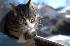 Pulizia del gatto Immagine Stock Libera da Diritti