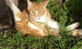 Pulizia del gatto Fotografie Stock
