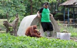 Pulizia dell'orangutan della gabbia Immagini Stock Libere da Diritti