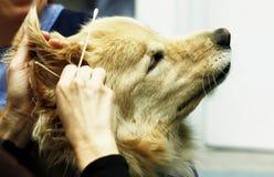 Pulizia dell'orecchio Immagine Stock Libera da Diritti