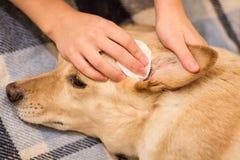 Pulizia delle orecchie del ` s del cane Immagine Stock
