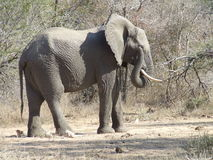Pulizia occupata dell'elefante il suo occhio Fotografia Stock Libera da Diritti