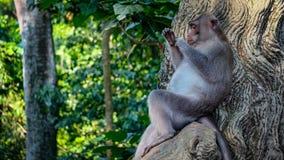 Pulizia rilassata egli stesso della scimmia Fotografia Stock