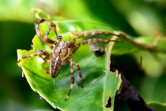Pulizia stessa del ragno di lupo del giardino Immagine Stock Libera da Diritti