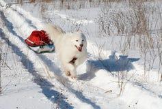 Pulk di trasporto del cane del Samoed Fotografie Stock