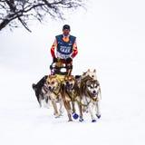 Pulkahundkapplöpning, i att springa för hastighet Royaltyfri Foto