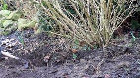 Pull dig out forsythia shrub, spring, garden work. Garden working pull dig out forsythia shrub stock footage