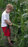 Pull An Ear. A boy picks an ear of corn Stock Photography