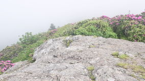 Pull Out Fog Blowing Over Rhododendron Blooms stock video