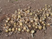 Pulled up onions on the earth Royalty Free Stock Photos