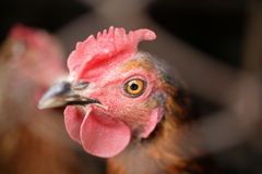 Pullet Stock Photography