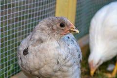 Pullet kurczaka karmazynka w podwórko klatce zdjęcia royalty free
