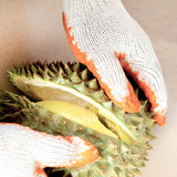 Pulling apart the durian fruit segments. By hands with gloves Stock Image