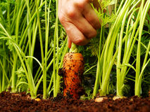 Pulling a carrot out Stock Photos