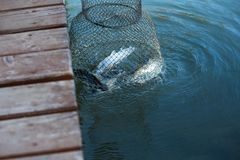 Pulling fishing net with fish. Out of pond stock photos