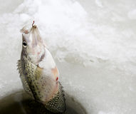 Pulling out a Crappie while ice fishing Royalty Free Stock Photos