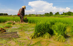 Pulling rice seedlings Royalty Free Stock Image
