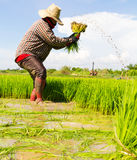 Pulling rice seedlings Stock Photo