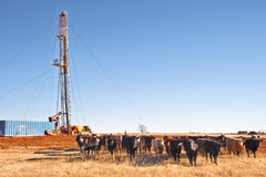 Pulling Unit and Cows. A small heard of cattle posing in front of an oil well that they might be drawing royalties off of Stock Images