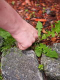 Pulling Weeds Stock Images