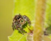 Pullover audacieux, araignée d'audax de Phidippus sur une feuille de Zinnia image libre de droits