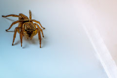 Pulloverspinne Stockfotos