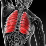pulmão Fotografia de Stock Royalty Free