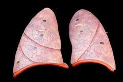 pulmão fotografia de stock