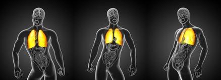pulmão Fotos de Stock